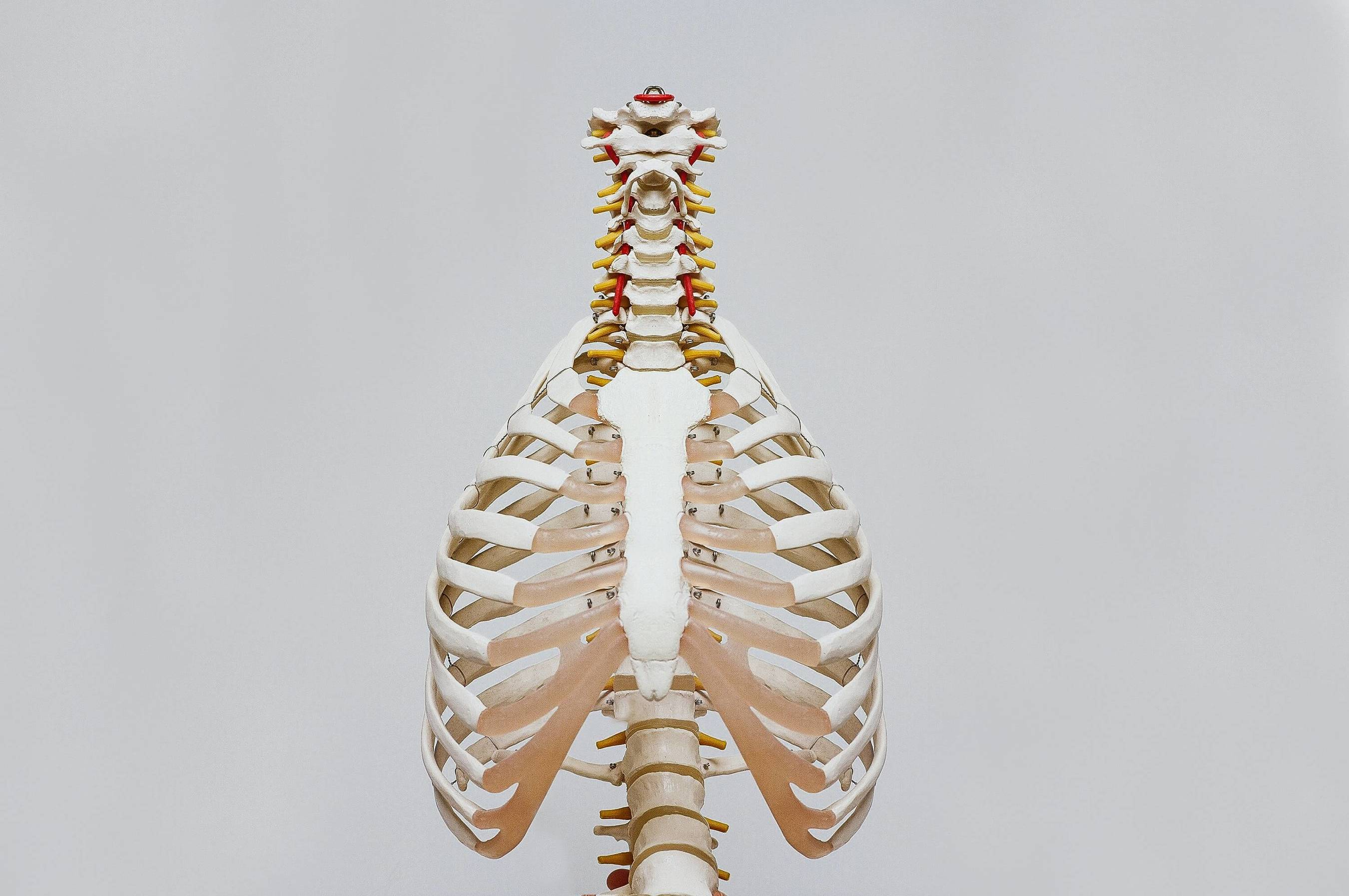 Clean lungs on a model skeleton