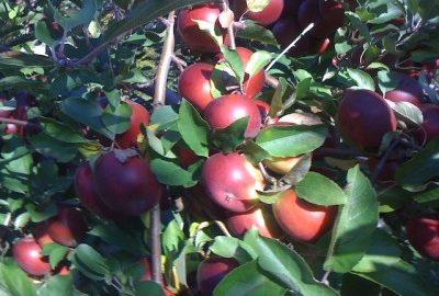 Apple-Tree1-400x300.jpg
