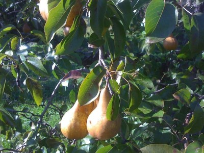 Pears hanging from a tree