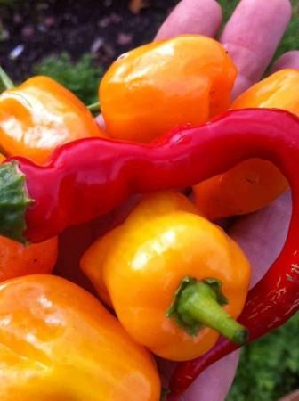 Peppers-in-Hand.jpg