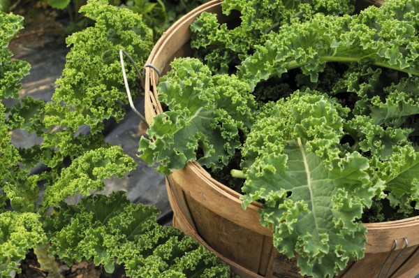 Grow a kale plant in your apartment