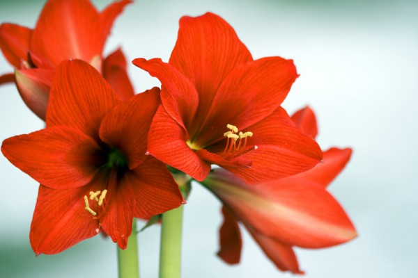 Grow an Amaryllis in Time for the Holidays