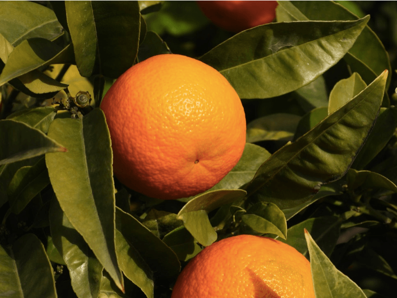 two oranges on a tree
