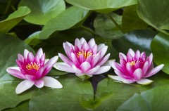 Can the Lotus Plant Give you Beautiful Skin?