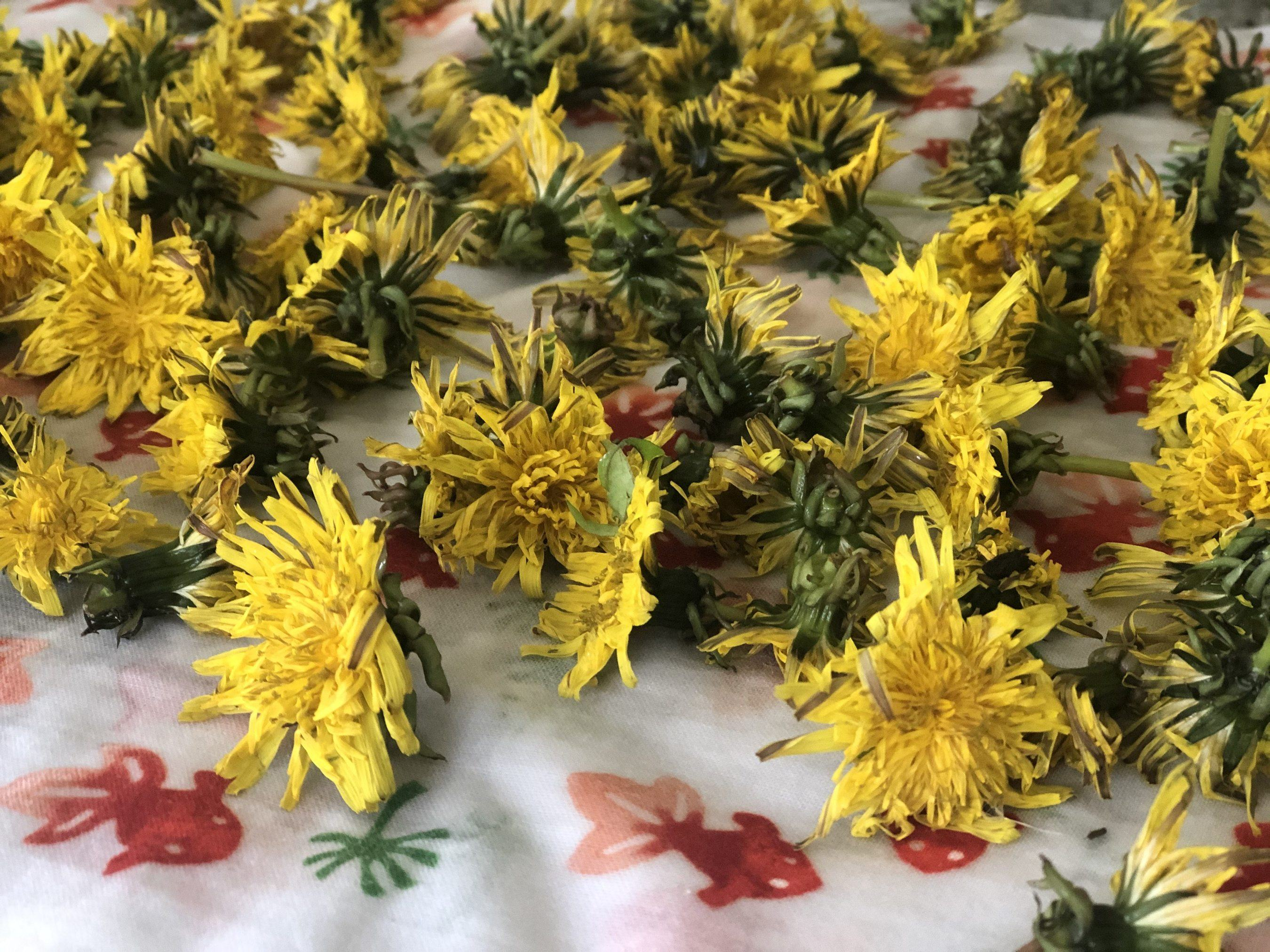 picked dandelions on a table