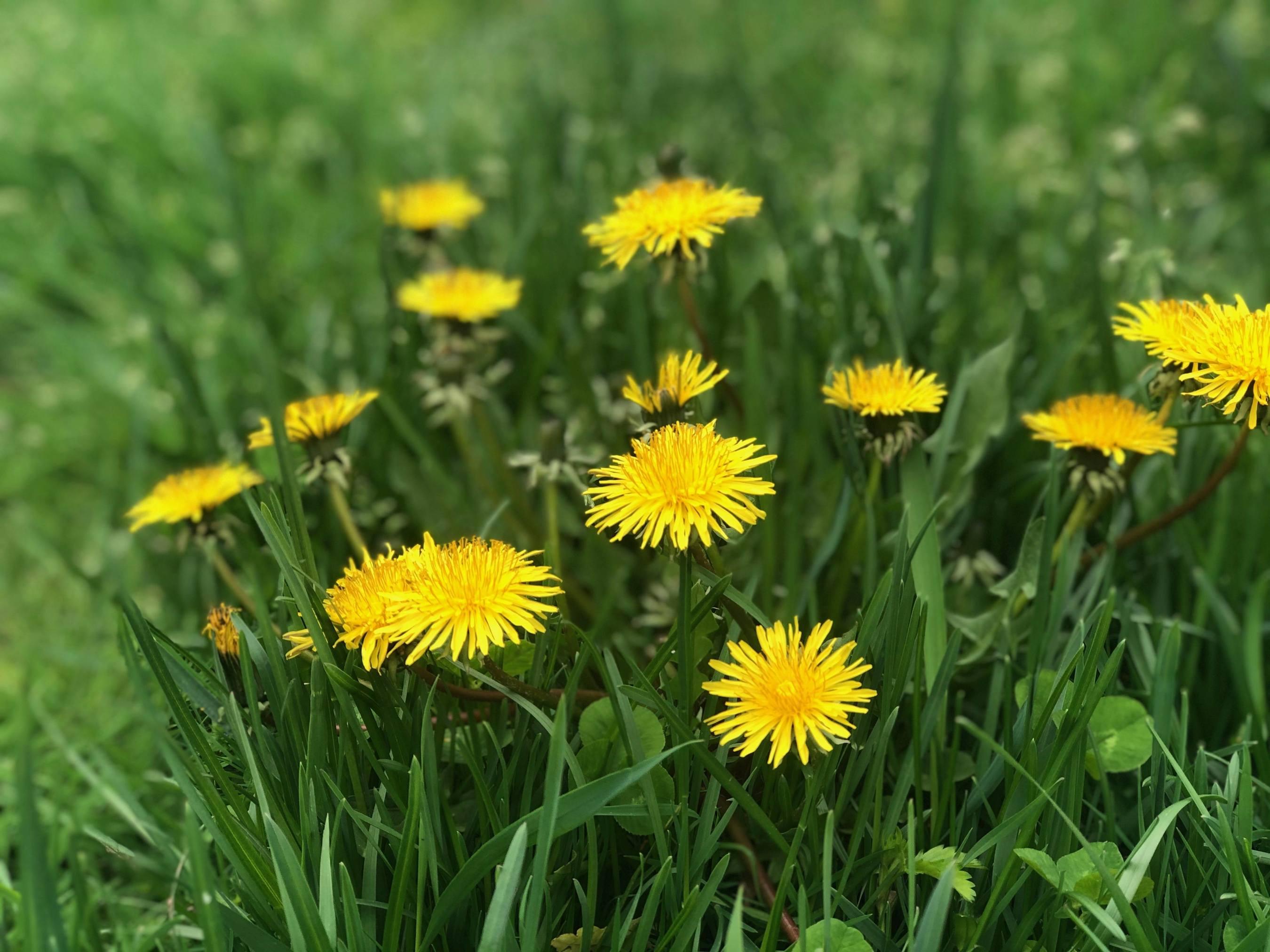 close up of wild dandelions
